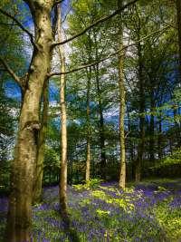 Bluebells-Portglenone-Forest4
