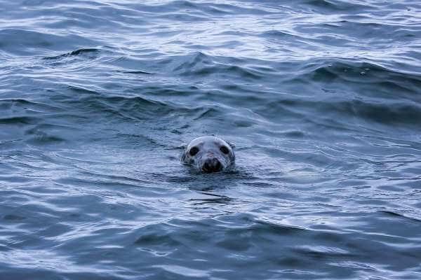 Seal-Gobbins-2