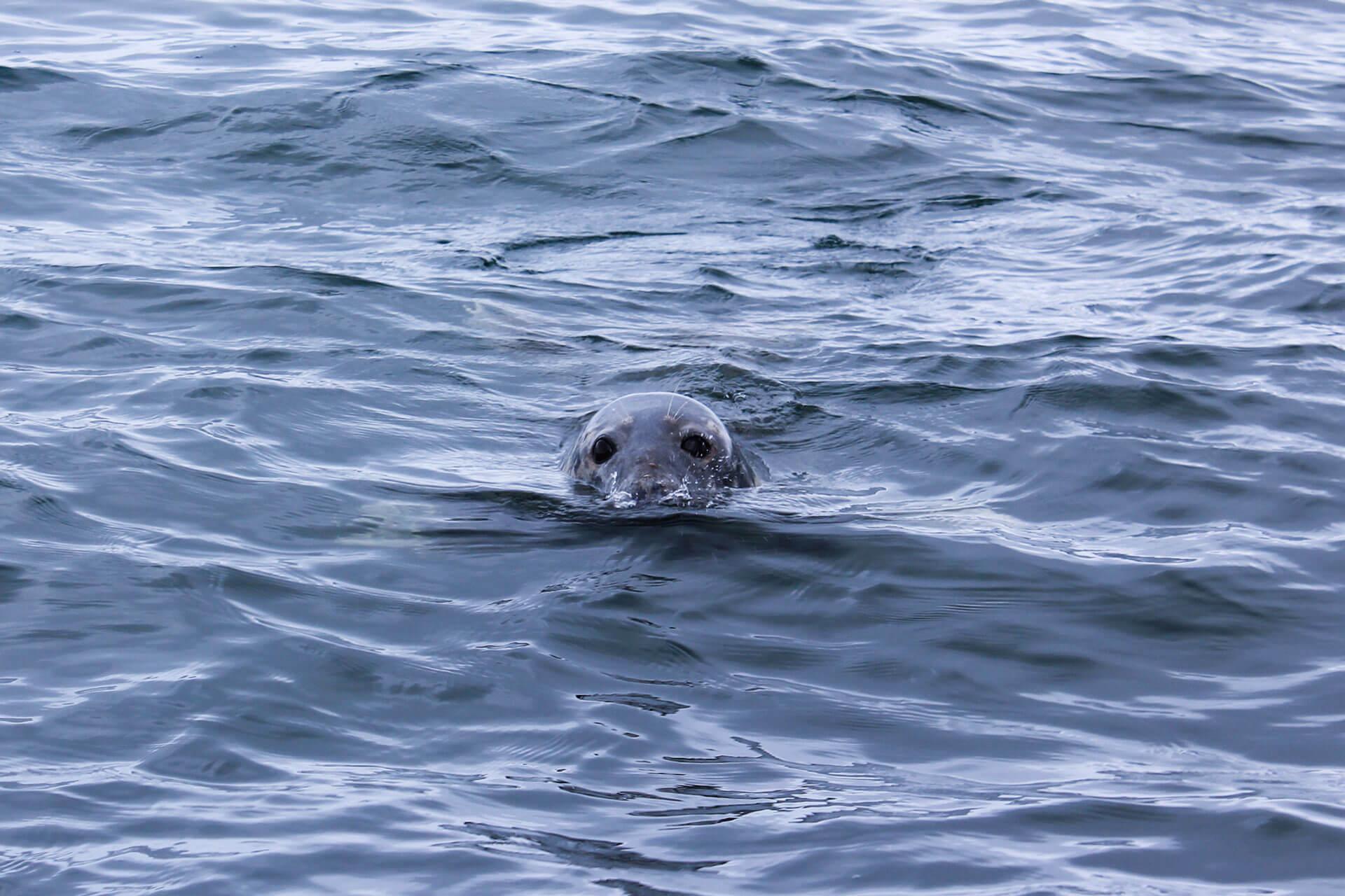 Seal-Gobbins