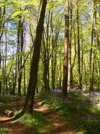 Portglenone Forest Bluebells