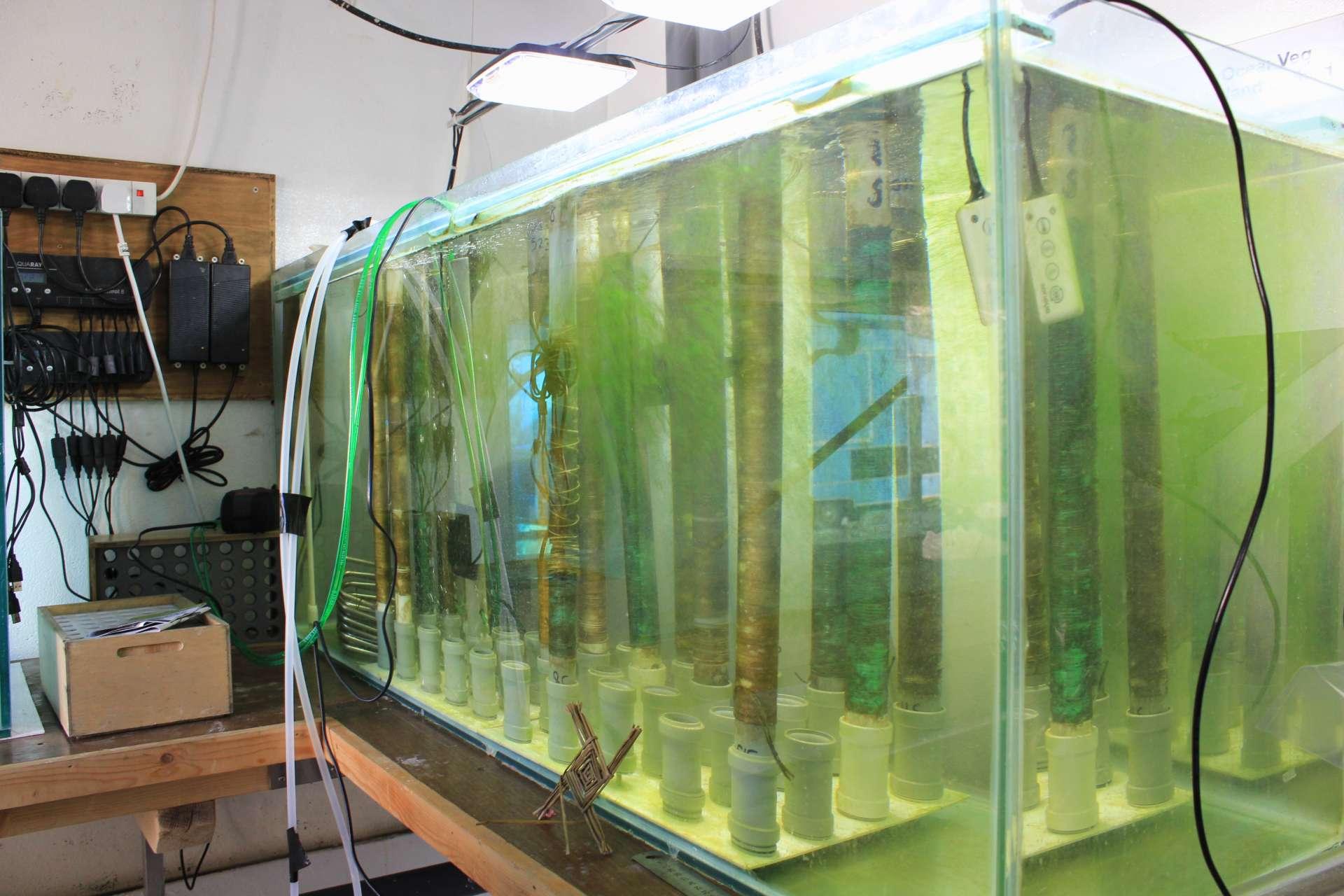 Kelp Seedlings Rathlin